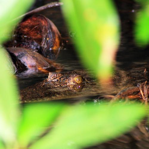 по мангровым зарослям, крокрдилы, шри-ланка